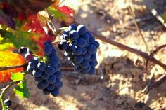 Bred as a cross between a Pinot Noir with a Cinsaut (Hermitage), the Pinotage is signature #SouthAfrica!