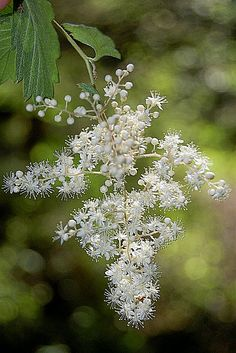 Elderflower ♡ for me Love Flowers, Spring Flowers, White Flowers, Pear Blossom, Spring Blossom, Moon Garden, Flower Tea, Closer To Nature, Elderflower