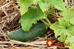 Vysejte uhorky v júni: Držte sa tohoto a keď budú mať iní záhony prázdne, vy budete mať väčšiu úrodu ako v lete! Cucumber, Fruit, Vegetables, Gardening, The Fruit, Vegetable Recipes, Lawn And Garden, Cauliflowers, Veggies