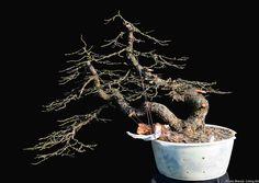http://roland-bonsai-eng.blogspot.com/2016/03/larix-decidua-yamadori-first-styling.html?utm_source=feedburner