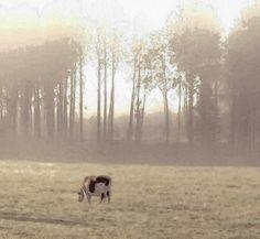 Aamu lehmä