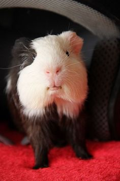 Guinea Pig... Dawww!!!