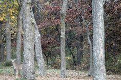 Deer in woods photo curtesy of Morgan Harlow