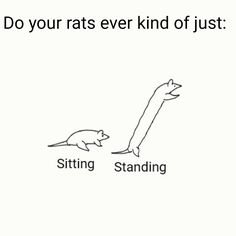 Do your rats ever kind of just: #aww #cute #rat #cuterats #ratsofpinterest #cuddle #fluffy #animals #pets #bestfriend #ittssofluffy #boopthesnoot