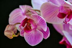 Orchid Bergen, Purple Rain, Pink Purple, Nikon, Our World, Photography Photos, Norway, Orchids, Photographs