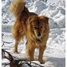 Marty the Chow Chow / Golden Retriever Mix