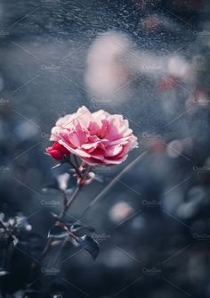 Pink Rose on Dark Blue tone background with bokeh. Pattern Vectors