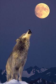 erase  que  se  era  ....  de  un  lobo  enamorado  de  la  Luna.......  Oky