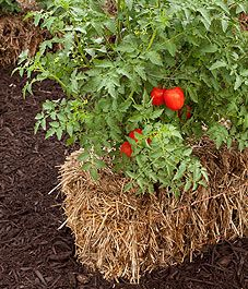 Straw bale gardening- Why? Straw bales are generally sterile and free of weeds, they warm up quickly, they are raised up which helps people who cannot get low to the ground, and can be recycled into compost.
