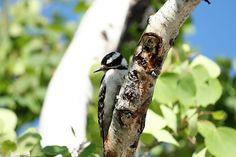 Woodpecker Bird Watching, Birds, Bird