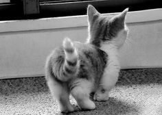 Munchkin cat! oh my gosh his little booty. I cant even...   I don't want one though: breeding isn't good for these guys.