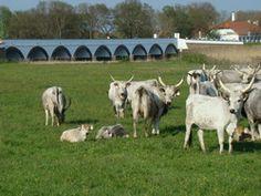 A pásztorünnep hagyományai szerint Szent György napján történik az állatok első kihajtása a Hortobágyon. A néphagyomány ezt tartja az igazi tavasz kezdetének. A híd előtt legelésző szürkemarha gulya számos borjúval gyarapodott. Goats, Animals, Animales, Animaux, Animal Memes, Animal, Goat, Animais, Dieren