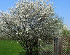spring Serviceberry Tree
