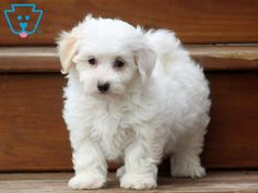 Bessie | Maltipoo Puppy For Sale | Keystone Puppies  #Maltipoo #KeystonePuppies