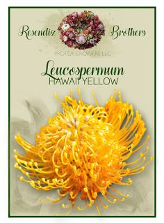 Leucospermum Hawaii Yellow