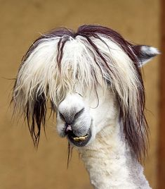 Alpacas That Will Make Your Day – Funnyfoto | Funny Pictures - Videos - Gifs - Page 35 Alpacas, Farm Animals, Animals And Pets, Funny Animals, Cute Animals, Smiling Animals, Crazy Animals, Nature Animals, Wild Animals
