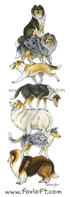Collie Stack!  Featuring smooth and rough collies.  Prints available, $15 http://foxloft.com/image/colliestack