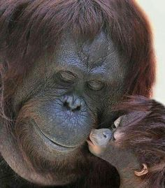 The orangutan mother and baby kiss. Primates, Mammals, Cute Baby Animals, Animals And Pets, Funny Animals, Animals And Their Babies, Wild Animals, Monkeys Animals, Animals Kissing