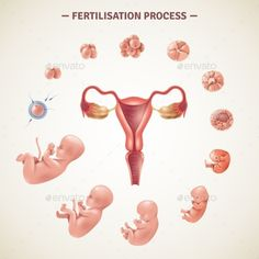 Buy Human Fertilization Process Poster by macrovector on GraphicRiver. Colored poster with scheme of human fertilization process and embryo development in realistic style vector illustrati. Pregnancy Chart, Pregnancy Stages, Pregnancy Workout, Pregnancy Photos, Pregnancy Belly, Pregnancy Photography, Baby Development In Womb, Prenatal Development, Pregnancy Development