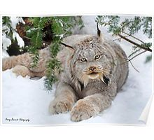 The Canadian lynx is a North American mammal of the cat family, Felidae. It is a close relative of the Eurasian Lynx. However, in some characteristics the Canadian lynx is more like the bobcat than the Eurasian Lynx. ~via Amazing Things in the World, FB Big Cats, Cats And Kittens, Cute Cats, Nature Animals, Animals And Pets, Cute Animals, Baby Animals, Pretty Animals, Nature Nature