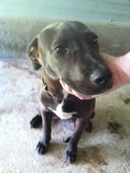 Carly is an adoptable Labrador Retriever Dog in Chipley, FL. This is 'Carly' female, lab mix around 6 months old she is very playful and bounces around alot she is only 25-30lbs and sweet as can be...