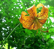 Lilium superbum is a species of true lily native to the eastern and central regions of North America. Common names include Turk's cap lily, turban lily, swamp lily or American tiger lily.