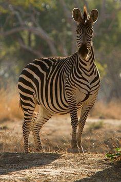 Crawshaws_Zebra| Flickr