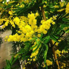 Acacia dealbata, Mimosa, una pianta da donne vere!
