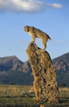 Bobcat by Peter Weimann