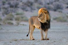 African lion Kalahari South Africa Big male African lion Panthera leo in l Asiatic Lion, Lion Hunting, Animal Attack, Lion Mane, Lion Of Judah, Majestic Animals, Mundo Animal, African Safari, Big Cats