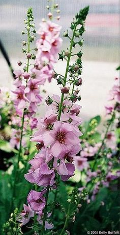 Types Of Flowers, Cut Flowers, Pink Flowers, Amazing Flowers, Beautiful Flowers, Hollyhocks Flowers, Delphiniums, Flower Pictures, Garden Inspiration