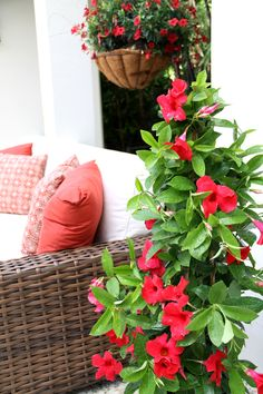 Planted throughout the landscape, this quickgrowing plant with trailing flowers is easy to grow and adds height and   attention-grabbing visual interest as it spreads with splashes of richly   saturated color.