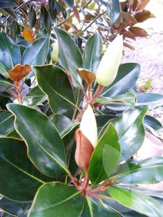 Magnolia grandiflora 'Little Gem' / Library − Speciality Trees