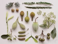 Seed pods arranged like an antique botanist illustration. Theme Nature, Nature Table, Planting Seeds, Planting Flowers, Nature Collection, Seed Pods, Fresh Green, Natural Forms, Botanical Art