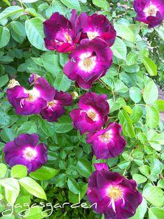 Night Owl, heavenly purple climbing rose Rose Pictures, Climbing Roses, Night Owl, Heavenly, Gardens, Queen, Purple, Plants, Rose Trees