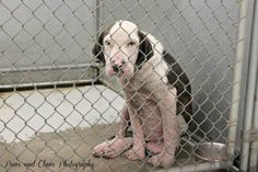 Kennel B3-male- severe mange- approx 2-3 years old- This baby is absolutely pitiful and obviously miserable. He just hung his head the entire time, but when I opened his kennel door he wagged his little tail and just had the saddest eyes I have ever seen.   Tipton County Animal Shelter  Brighton, TN 38011 (901) 837-5919  https://www.facebook.com/PawsandClawsPhotographyTiptonCountyAnimalShelter/photos/pb.277629969008195.-2207520000.1409995681./563686623735860/?type=3&theater
