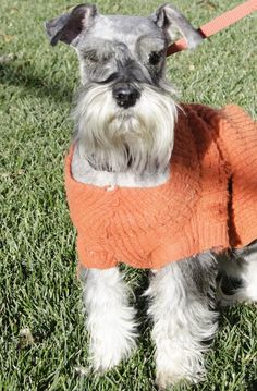 Meet Captain Brass a Petfinder adoptable Schnauzer Dog   Flintridge, CA   Captain Brass is a purebred salt & pepper Miniature Schnauzer. He is 6 1/2 years old. He is one of...