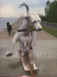 Postcard showing Irish Wolfhound on Scooter