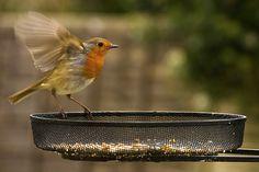Robin Landing   by J1M_B1
