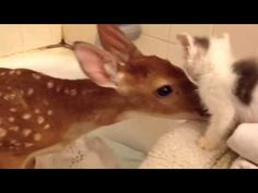 Tiny Kitten Meets Rescue Baby Deer - Love Meow. Ohhhhhhh I love this so much...THEY'RE LITTLE FURRY FRIENDS!
