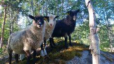 "Baby lambs, traditional Finnish race ""Kainuu grey"" / Kainuun harmaa -karitsat"