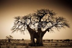 An Elephant-Made Hole in a Large Baobab Tree, Ruaha National Park, Tanzania Landscapes Photographic Print - 61 x 41 cm