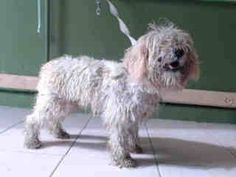 #A4780464 I'm an approximately 8 month old male poodle min. I am not yet neutered. I have been at the Carson Animal Care Center since December 1, 2014. I am available on December 1, 2014. You can visit me at my temporary home at CRECEIVING. Carson Shelter, Gardena, California... https://www.facebook.com/171850219654287/photos/pb.171850219654287.-2207520000.1417556941./339013336271307/?type=3&theater