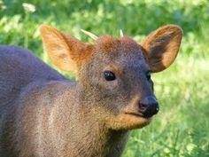 southern pudú (Pudu pudu) buck