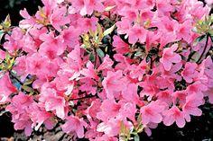 3 Azalea Plants