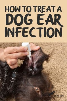 Ear infections in dogs are a common problem. Unfortunately, if you don't know how to treat a dog ear infection your pet could lose his hearing. Puppy Ear Infection, Dog Ear Mites, Ear Infection Remedy, Dog Ear Infection Symptoms, Dog Training Treats, Dog Treats, Meds For Dogs, Dog Enrichment, Dog Spa
