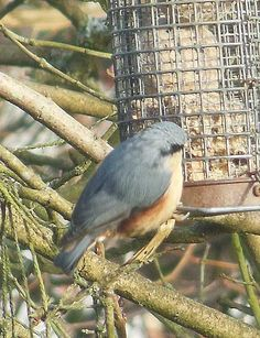 A rare glimpse of a Nut Hatch in the front Garden