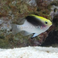 1000 images about salt semi aggressive on pinterest for Semi aggressive fish