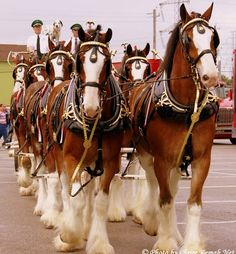 To qualify for one of the hitches, a Budweiser Clydesdale must be a gelding with an even temperament and strong, draft horse appearance, be at least four years old, stand at least 18 hands (72 inches, 183 cm) at the withers when fully mature, and weigh between 1,800 and 2,300 pounds (820 and 1,000 kg).
