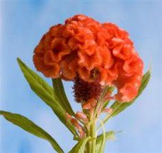 Coxcomb, Orange
